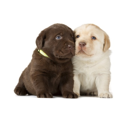 Chocolate   Yellow Labrador Retriever Puppies  4 week old, isolated on white background