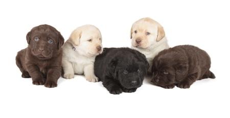 흰색 배경에 5 초콜릿, 노란색과 검은 색 래브라도 리트리버 강아지 4 주 이전에 격리