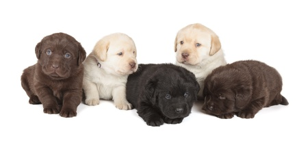 Cinco Chocolate, Amarillo y Negro Labrador Retriever Puppies 4 semanas de edad, aislado en fondo blanco