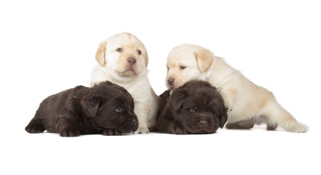 Four Chocolate and Yellow Labrador Retriever Puppies  4 week old, isolated on white background  photo