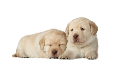 Two Yellow Labrador Retriever Puppies  4 week old, isolated on white background  photo