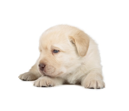 Yellow Labrador Retriever Puppy  4 week old, isolated on white background  photo