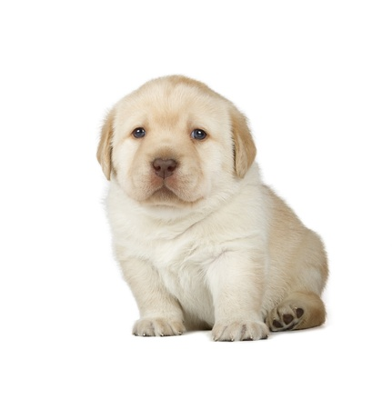 labrador puppy: Yellow Labrador Retriever Puppy  4 week old, isolated on white background