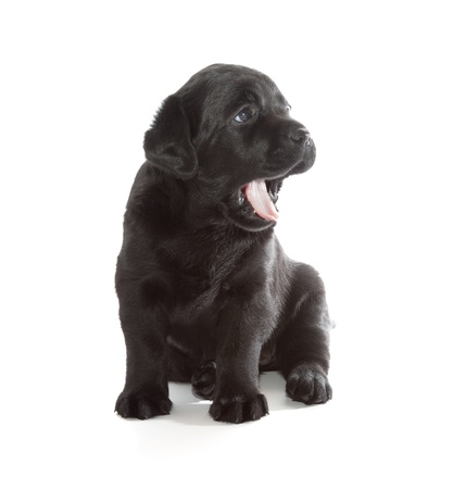 Black Labrador Retriever Puppy  4 week old, isolated on white background