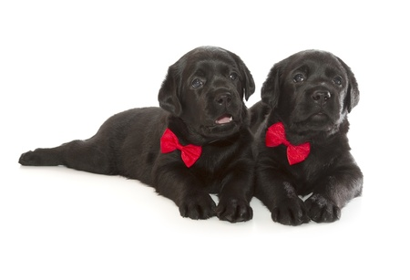 Black Labrador Retriever Puppy  4 week old, isolated on white background  photo