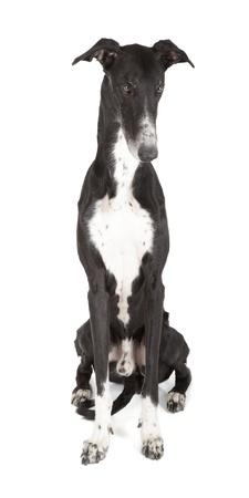 hounds: greyhound isolated on white background