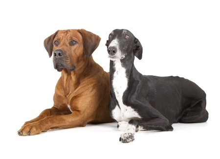 greyhound and rhodesian ridgeback isolated on white background photo