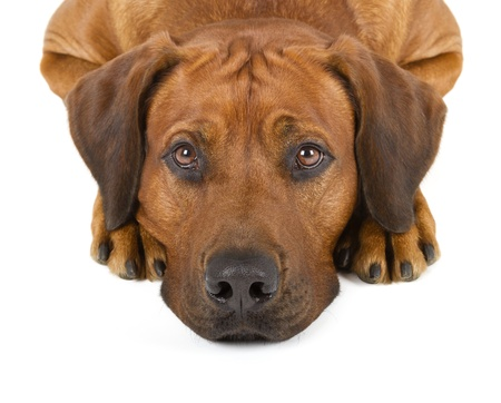 Rhodesian Ridgeback isolated on white background photo