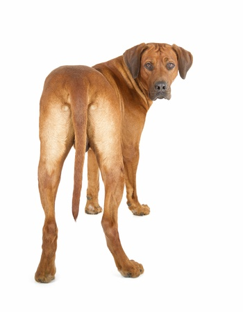 looking out: Rhodesian Ridgeback isolated on white background