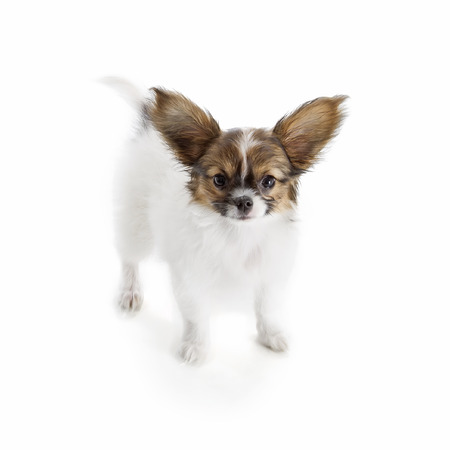 Papillon puppy isolated on white background Stock Photo - 22927729