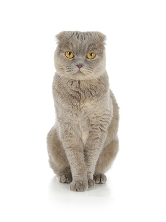 Scottish fold cat isolated on white background photo