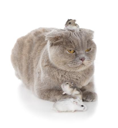 Scottish fold cat isolated on white background