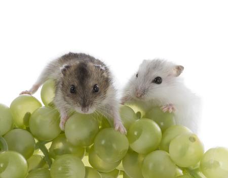 enano: Hamster Djungarian sobre fondo blanco