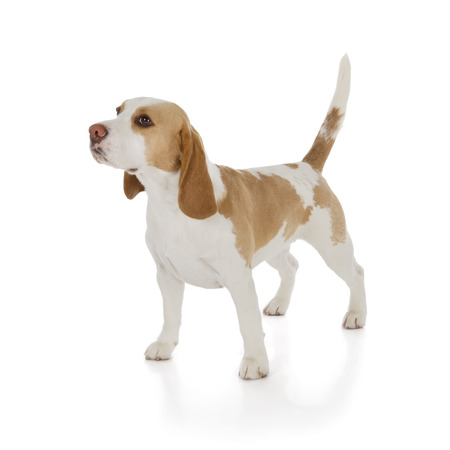 白い背景で隔離のかわいいビーグル犬 写真素材