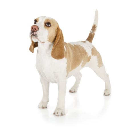 dog grooming: cute beagle dog isolated on white background Stock Photo