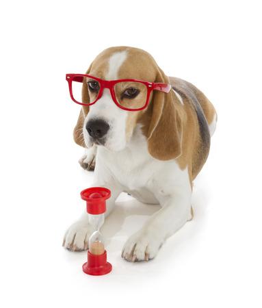 cute beagle dog isolated on white background photo