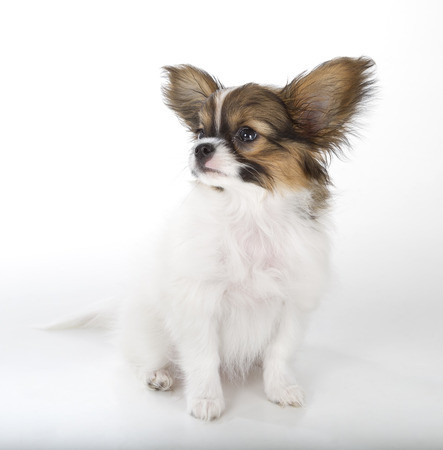 Papillon puppy isolated on white background Stock Photo - 22927797