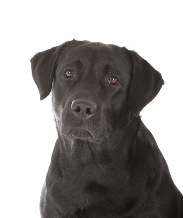 black labrador: black labrador retriever dog on white background
