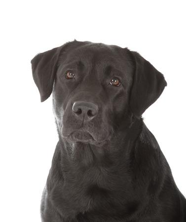 black labrador: black labrador retriever dog on white background
