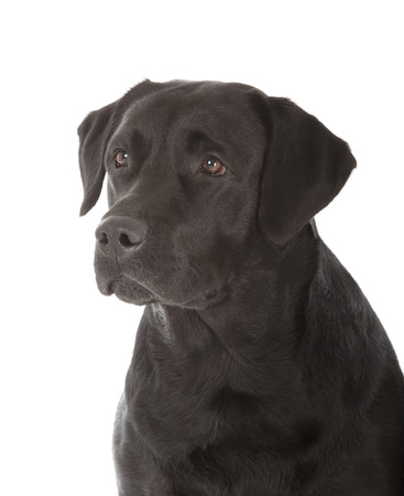 perro labrador: negro labrador retriever perro sobre fondo blanco Foto de archivo