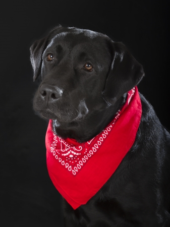 black labrador retriever dog on black background photo