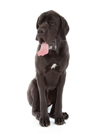 black great dane dog isolated on white background