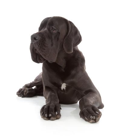 deutsche dogge: black great dane dog isolated on white background