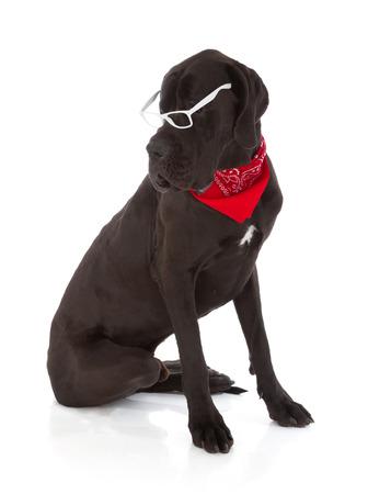 lear: black great dane dog isolated on white background