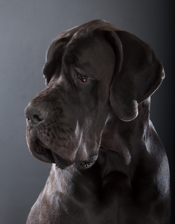 deutsche dogge: black great dane dog on dark gray background Stock Photo