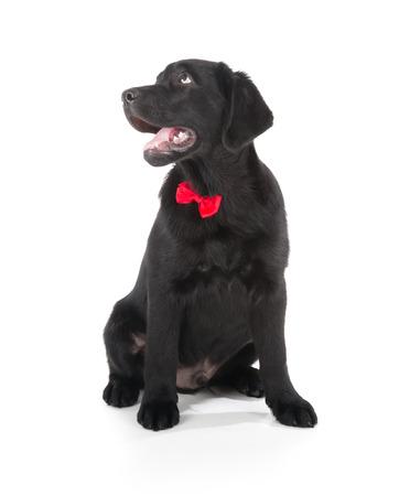 Labrador Retriever Puppy isolated on white photo