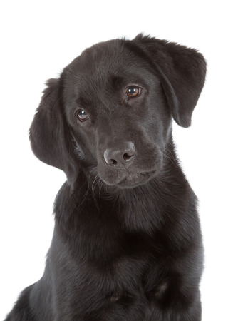 Labrador Retriever Puppy isolated on white photo