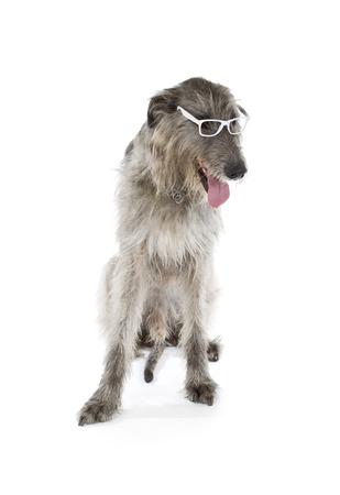 big dog: Irish Wolfhound isolated on a white background