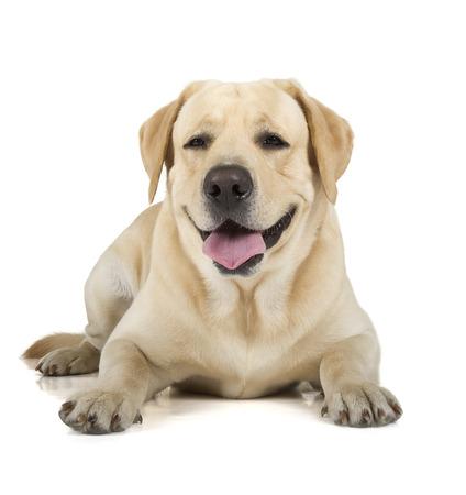 白い背景で隔離犬笑顔かわいい黄色いラブラドル ・ レトリーバー犬