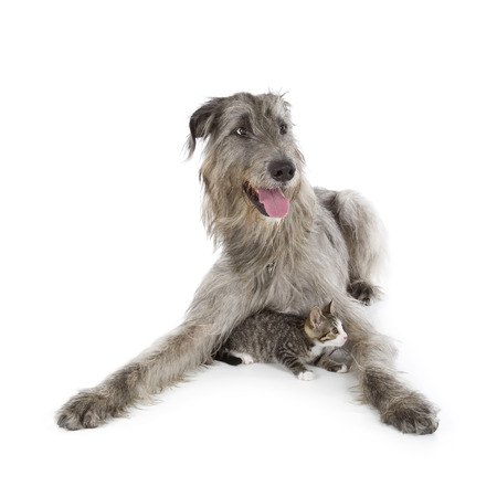 Irish Wolfhound isolated on a white background Stock Photo - 23307716