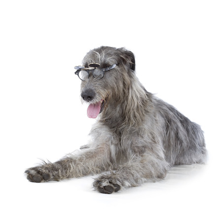 Irish Wolfhound isolated on a white background photo