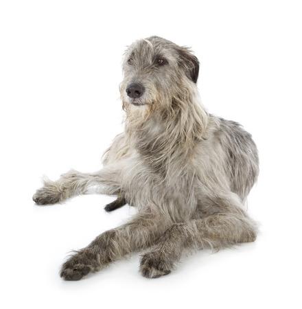 irish background: Irish Wolfhound isolated on a white background