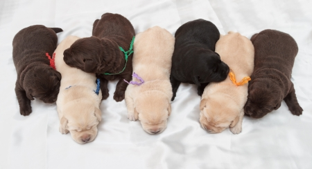 seven labrador retriever puppies (one week old) photo