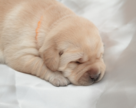 labrador retriever puppy (one week old) photo