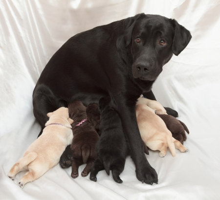 brown labrador: labrador retriever puppies and mom (one week old) Stock Photo