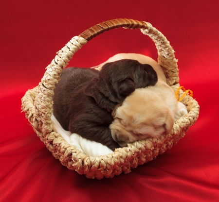 labrador christmas: two labrador retriever puppies in a basket (one week old) Stock Photo