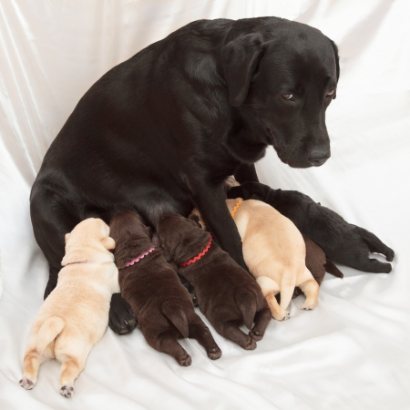 labrador retriever puppies and mom (one week old) Stock Photo