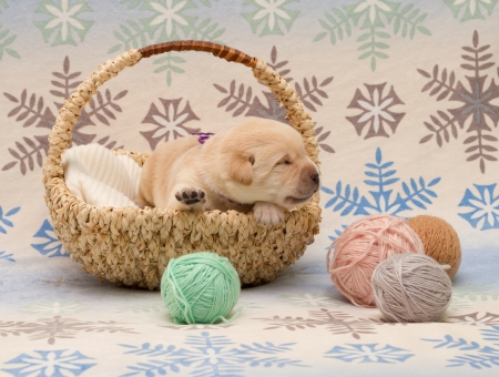 adorable labrador retriever puppy (newborn, ten day old) photo