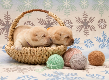 adorable labrador retriever puppies (newborn, ten day old) photo