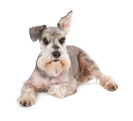 Cute miniature schnauzer isolated on white background photo