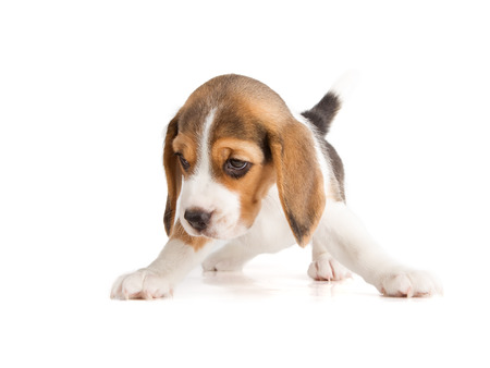 paw smart: Cute Beagle Puppy (5 week old)