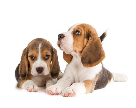 Cute Beagle Puppy (5 week old) photo