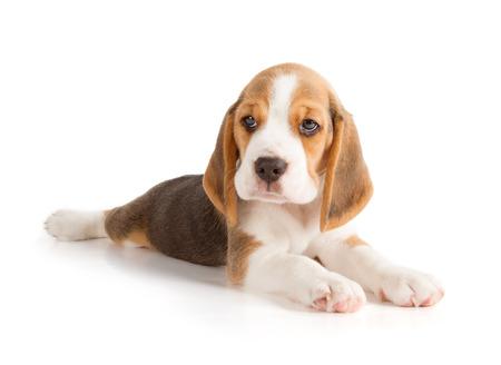 beagle: Cute Beagle Puppy (5 week old)