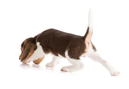 かわいいビーグル犬の子犬 (5 週齢) 写真素材 - 31426039
