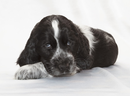 english cocker spaniel: English Cocker Spaniel Puppy. Seven weeks old.