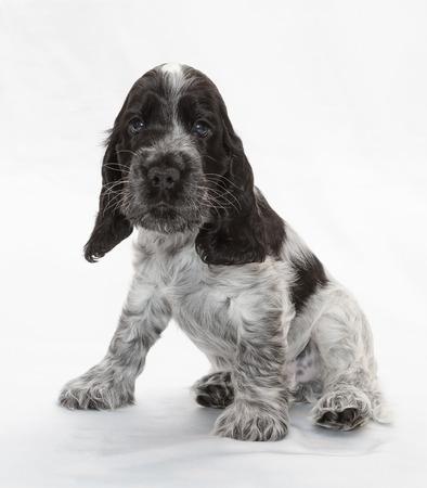 weeks: English Cocker Spaniel Puppy. Seven weeks old.